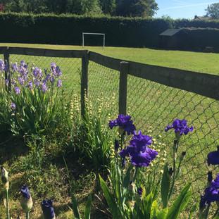 Irises in Cottage's Garden