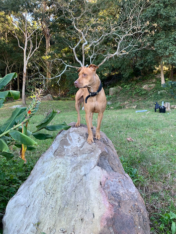 dog walking wollongong