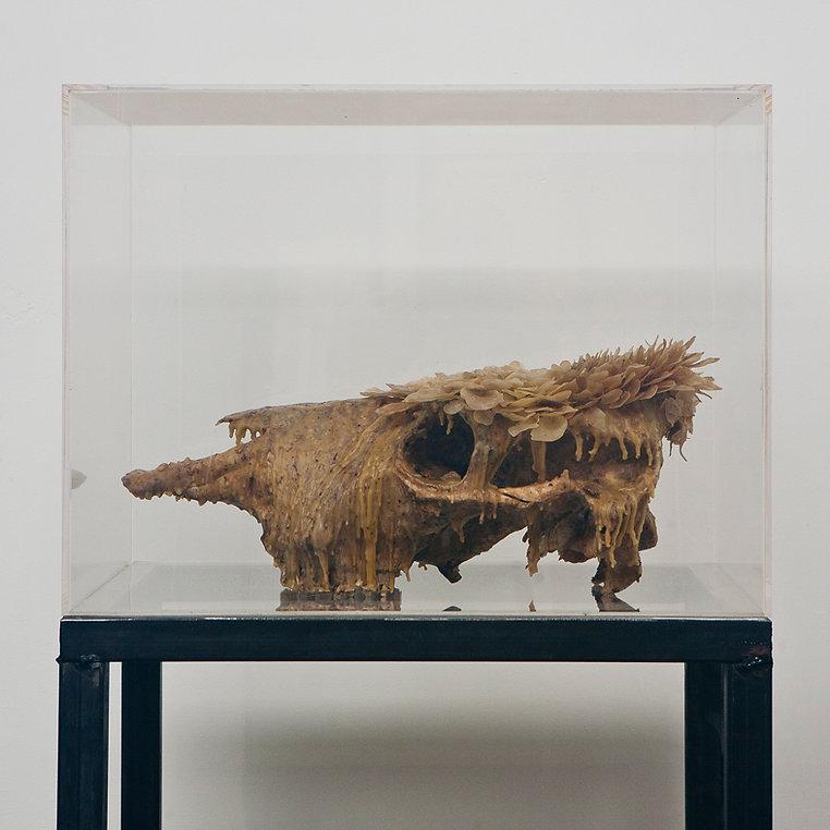 cranio mucca cera (2).jpg