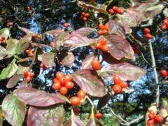 flowering dogwood fruit.jpg