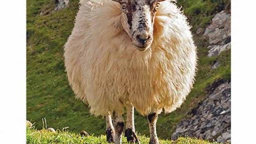 Irish Sheep Birthday