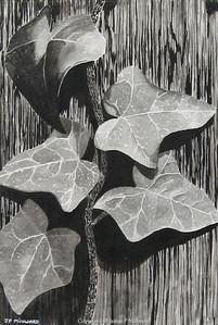Ivy on the gatepost (graphite)