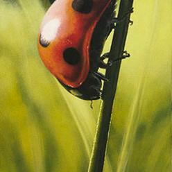 The darling bug of may
