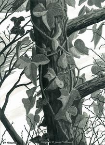Ivy on the tree (graphite)