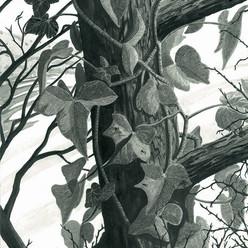 Ivy on the tree