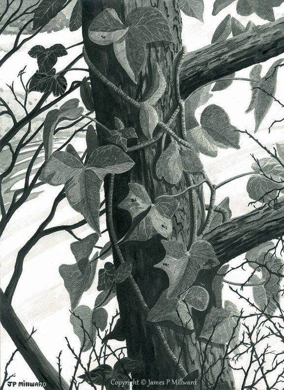 Ivy on the tree (graphite)