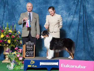 5 point AKC major for Kiss at the Louisville show!