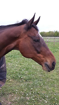 trevor- ex race horse now therapy horse