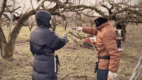 さくらんぼの歴史 Cherry History