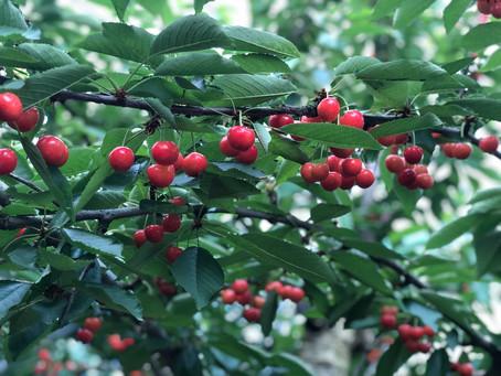 さくらんぼとは What is cherry