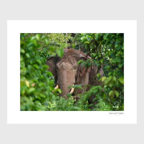 Tirage Fine Art 40x50 cm - Eléphant de Sumatra