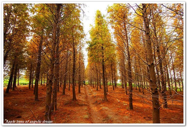 八德落羽松森林1.jpg