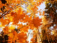 楓葉2.jpg