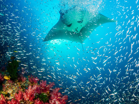 Dusit Thani Maldives puts you nose-to-nose with these mesmerising fishes as Manta Ray season begins