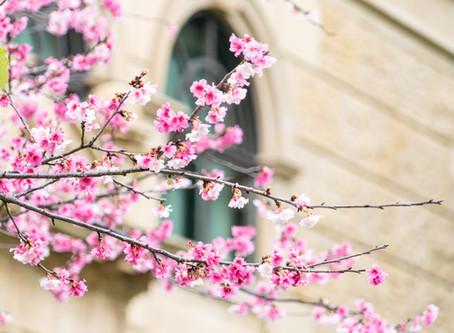 Taiwan Cherry Blossom Forecast 2020