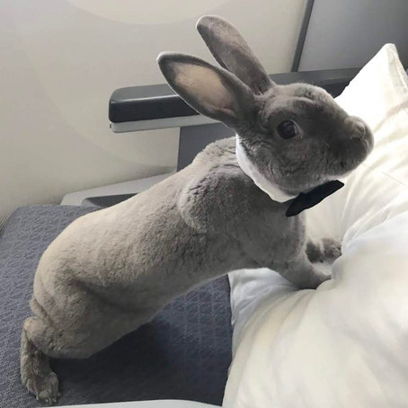 This Pet Rabbit Got Her Own Seat in Business Class and Spent the Flight Eating Croissants