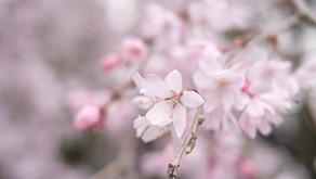 Japan Cherry Blossom Forecast 2020