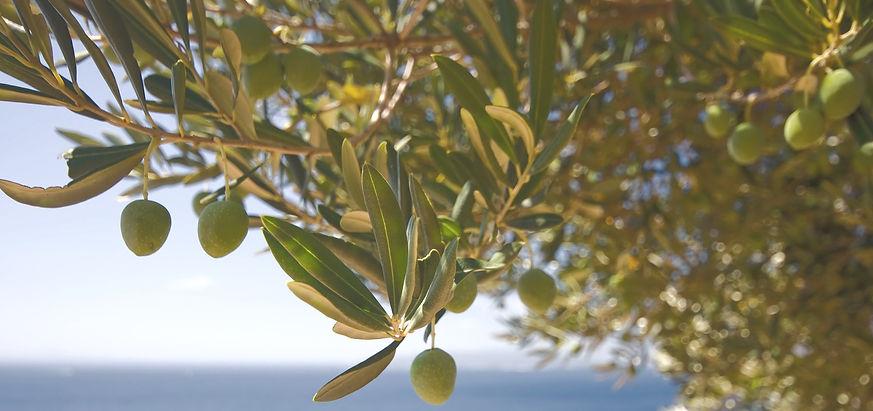 olive%20tree_edited.jpg
