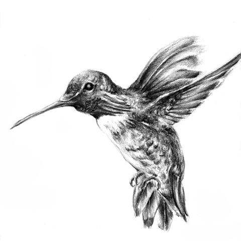 justin-hunt-hummingbird-b.png