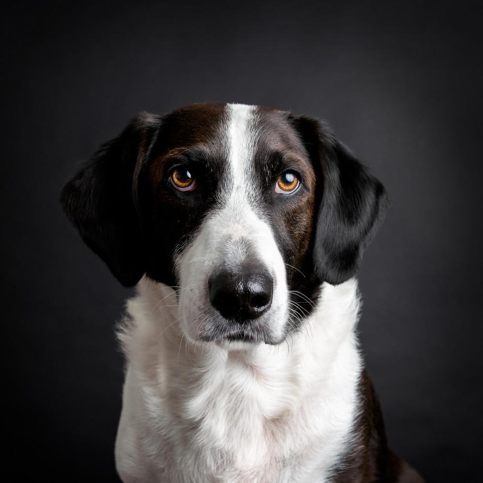 Portrett av sort og hvit hund i studio. Han er avbildet på sort bakgrunn, fineart. Bilde tatt av Tina Brikland Borsheim, Studio Brikland