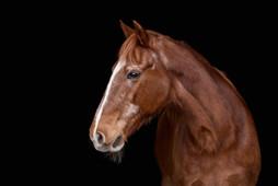Portrett av hest på sort bakgrunn. Hesten er gammel og har grå hår i ansiktet, nydelig oransje pels og snille øyne. Bilde tatt av Tina Brikland Borsheim, Studio Brikland
