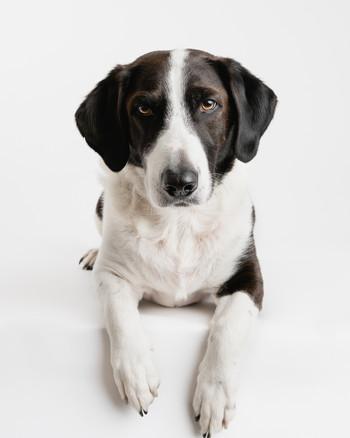 Sort og hvit hund i studio på hvit bakgrunn. Hunden er en blanding av drever. Bilde tatt av Tina Brikland Borsheim, Studio Brikland