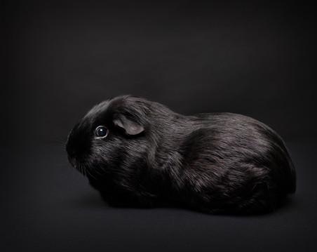 Sort marsvin i studio, avbildet på sort bakgrunn. Bilde tatt av Tina Brikland Borsheim, Studio Brikland