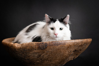 Sort og hvit langhåret katt i studio. Han sitter i en trebolle og ser i kamera. Bilde tatt av Tina Brikland Borsheim, Studio Brikland