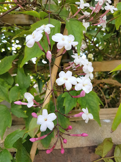 A Witch's Garden: Jasmine