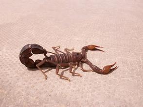 Animal Magic: The Scorpion