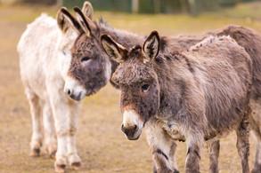 Animal Magic: The Donkey