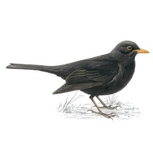 Blackbird magic