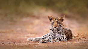 Animal Magic: The Panther and The Leopard