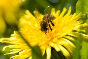 Animal Magic: The Bee