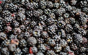 Magical Food - Blackberries