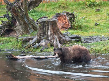 Animal Magic: The Bear