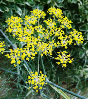 The magic of fennel