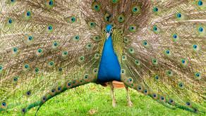 Animal Magic: The Peacock