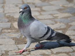 Pigeons and their magic