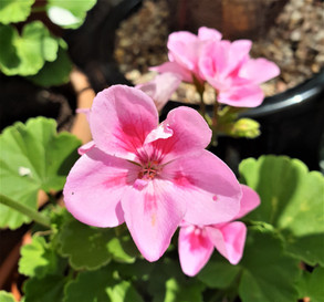Plant Spirit Connections and the magic of geranium