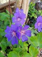 A Witch's Garden: Geranium/Pelargonium