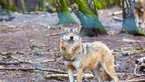 Animal Magic: The Wolf