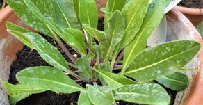 Magical Herb: Woad