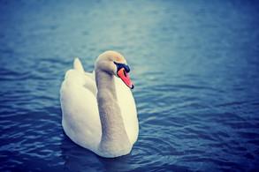 Animal Magic: The Swan