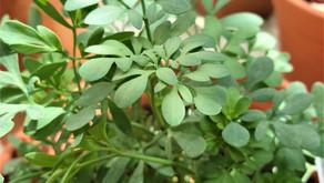Magical Herb: Rue