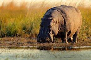 Animal Magic: The Hippopotamus