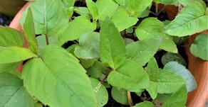Magical Herb: Bergamot