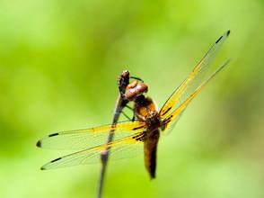 Animal Magic: The Dragonfly