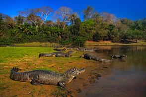 Animal Magic: The Crocodile and The Alligator