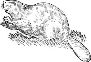 Animal Magic: The Beaver